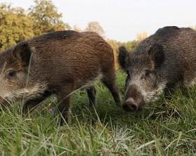 wild-boar_1123558c
