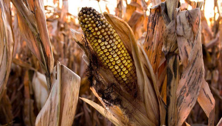 drought_corn_660x433