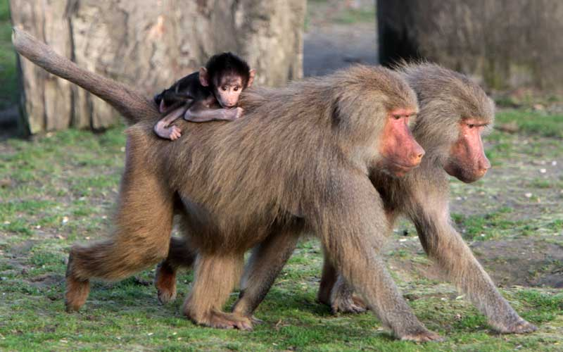 baboon_species