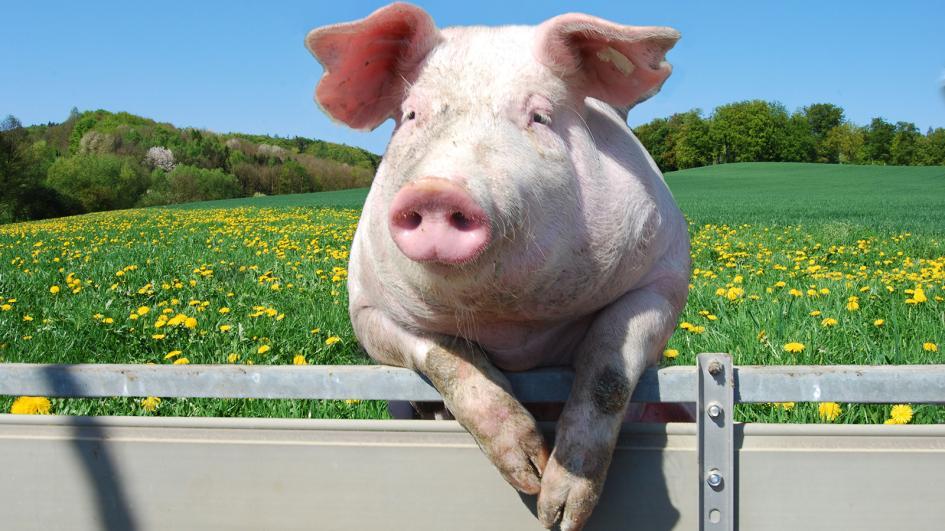 pig-fence.adapt.945.1